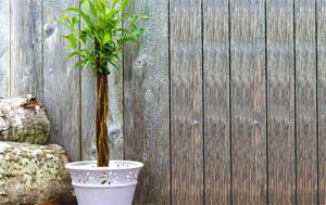 Willow Wand will look beautiful in any garden and you can get a willow wand for free.